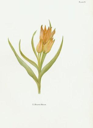 Plate 10: T. Sylvestris Linn