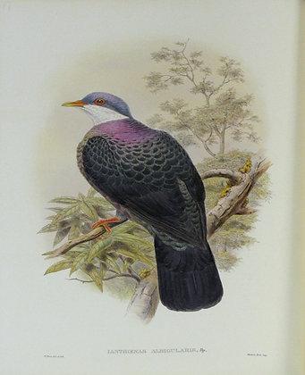Plate 567: Ianthoenas Albigularis