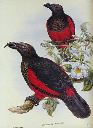 Plate 533: Dasyptilus Pesqueti