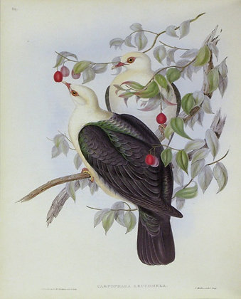 Plate 559: Carpophaga Leucomela