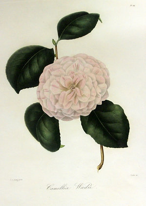 Camellia Wadii