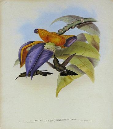 Plate 054: Aphantochroa Cirrhochloris