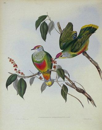 Plate 555: Ptilinopus Swainsonii