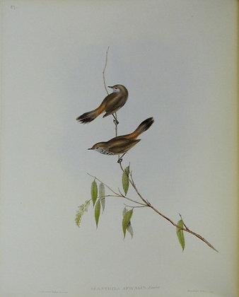 Plate 357: Acanthiza Apicalis