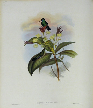 Plate 335: Eucephala Caerulea