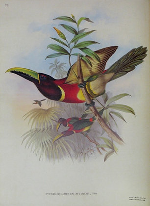 Plate 027: Pteroglossus Sturmi