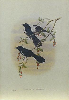 Plate 251: Piezorhynchus Axillaris