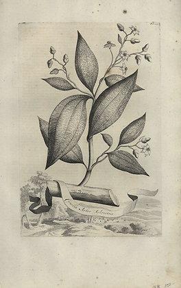 Plate 022: Canella arbor sylvestris
