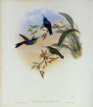 Plate 105: Thalurania Venusta