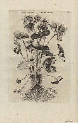 Plate 122: Caltha palustris flore simplici