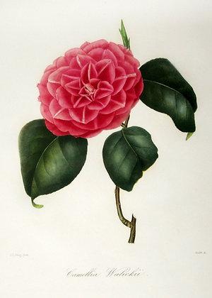 Camellia Walickii