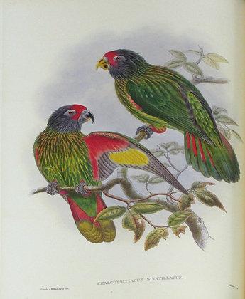 Plate 538: Chalcopsittacus Scintillatus