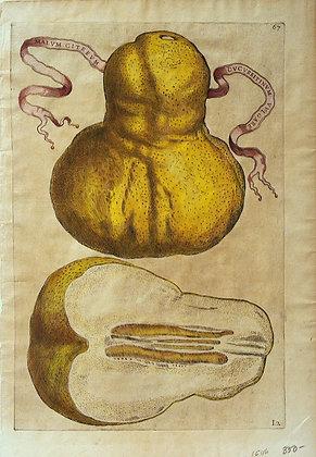Plate 67: Malum Citreum Cucurbitinum Vulgare