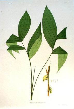 Plate 241: Amylocarpus Xanthocarpus