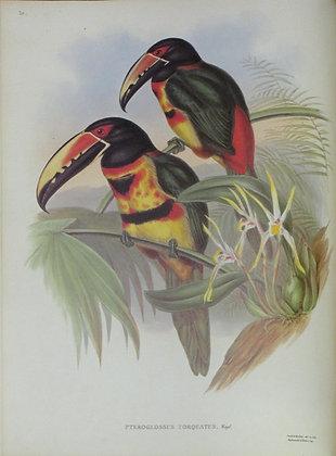 Plate 20: Pteroglossus Torquatus