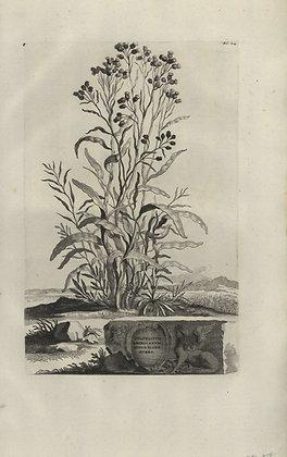 Plate 171: Gnaphalium Americanum minus flore