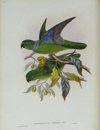 Plate 529: Geoffroyius Simplex