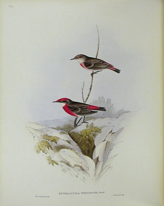 Plate 366: Epthianura Tricolor