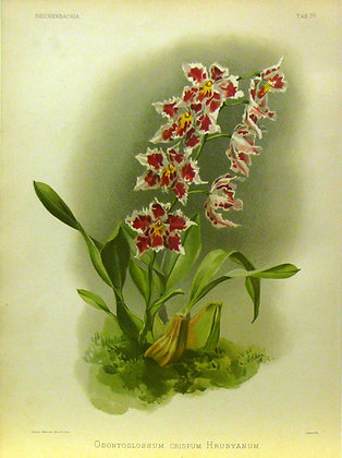 Plate 029: Odontoglossum crispum Hrubyanum