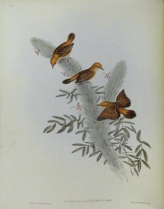 Plate 345: Cysticola Ruficeps