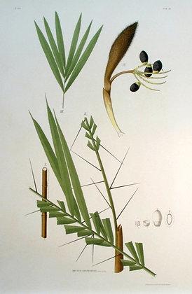 Plate 226: Bactris Chapadensis
