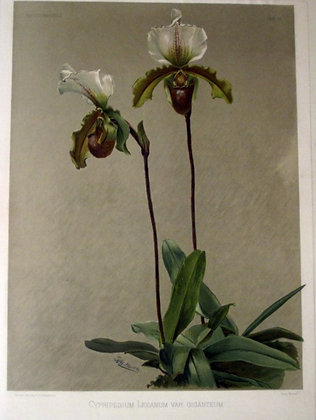Plate 157: Cypripedium Leeanum var giganteum