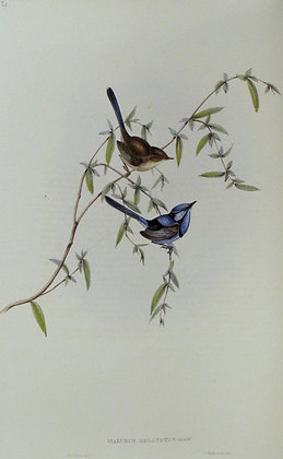 Plate 320: Malurus Melanotus