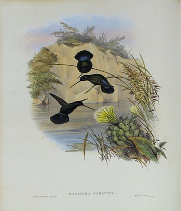 Plate 087: Doryfera Johannae