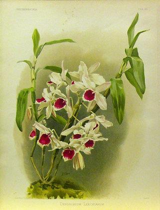 Plate 050: Dendrobium leechianum