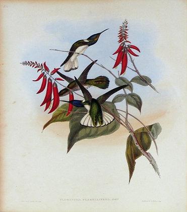 Plate 114: Florisuga Flabellifera