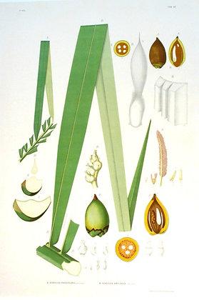 Plate 145: A. Scheelea Parviflora