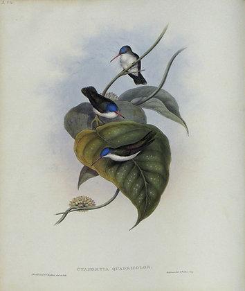 Plate 284: Cyanomyia Quadricolor