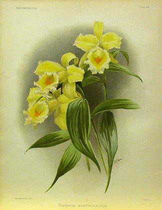 Plate 044: Sobralia xantholeuca