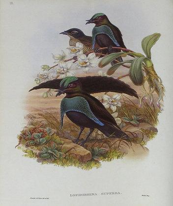 Plate 118: Lophorhina Superba