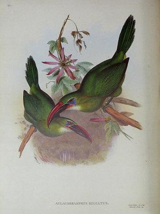 Plate 042: Aulacoramphus Sulcatus