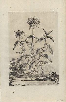 Plate 121: Menthastrum Virginianum origanites