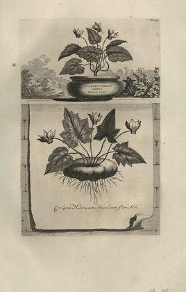 Plate 148: Cyclamen vernum minus flore albo,