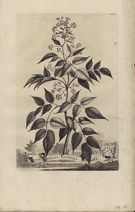 Plate 099: Angelica baccifera