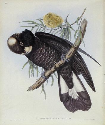 Plate 513: Calyptorhynchus Baudinii