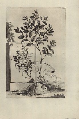 Plate 036: Buxus minor folio aureo striato