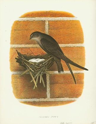 Plate 38: Chimney Swift