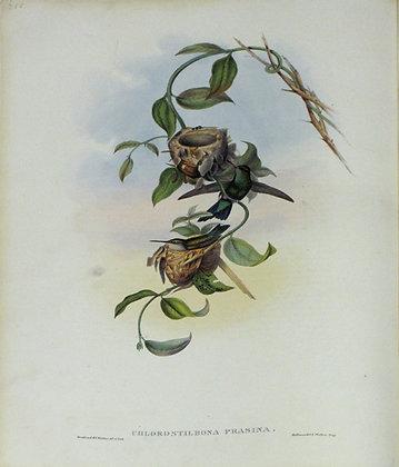 Plate 355: Chlorostilbon Prasinus