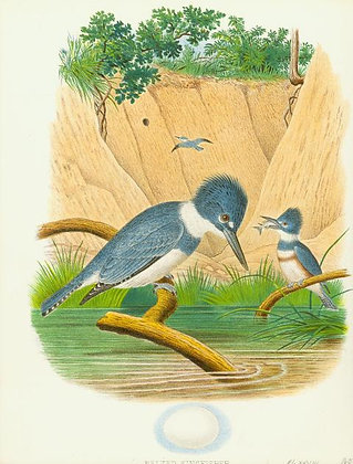 Plate 28: Belted Kingfisher