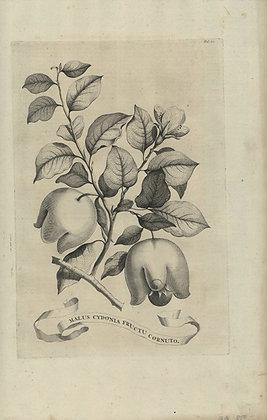Plate 006: Malus Cydonia fructu cornuto