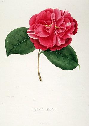 Camellia lucida