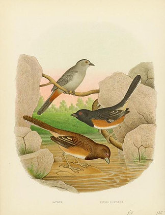 Plate 52: Catbird and Towhee Buntings