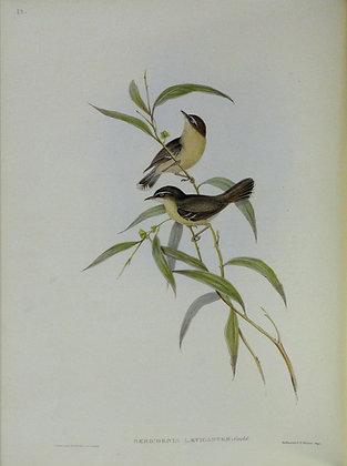 Plate 350: Sericornis Laevigaster