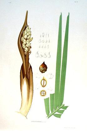 Plate 156: Attalea Geraensis