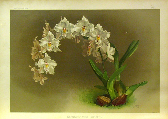 Plate 001: Odontoglossum crispum