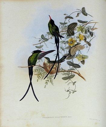 Plate 098: Trochilus Polytmus
